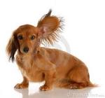 Listeing Ear Dog