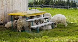Scared sheep